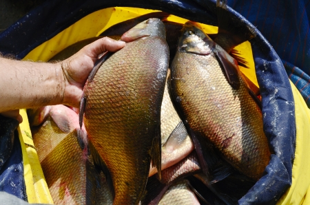 Fishermans holding a big bream photo
