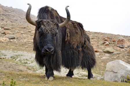 Brown tibetan yak in a pasture at Himalaya mountains