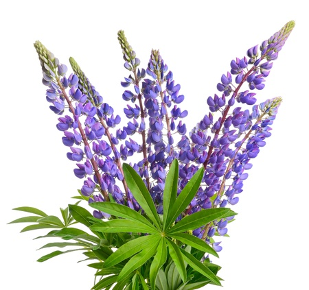 bluebonnet: Wild lupines or bluebonnet flowers on white background