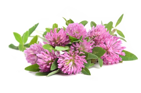 crimson: Red clover in bunch on white background
