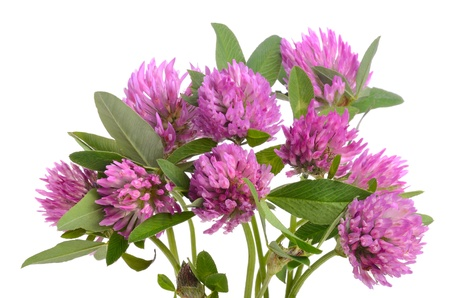 Red clover in bunch on white background photo