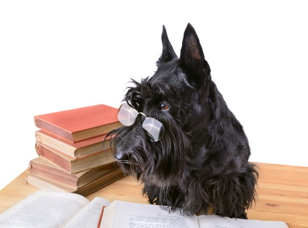 Scotch terrier in glasses reads a books on a white background photo