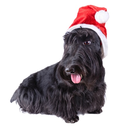 Scotch terrier with red Santa Claus hat on a white background photo