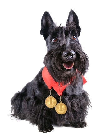 Scotch terrier with two gold medals on a white background photo