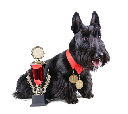 Scotch terrier with two gold medals and cup on a white background photo