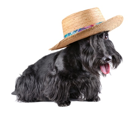 Scotch terrier in hat sitting on a white background photo