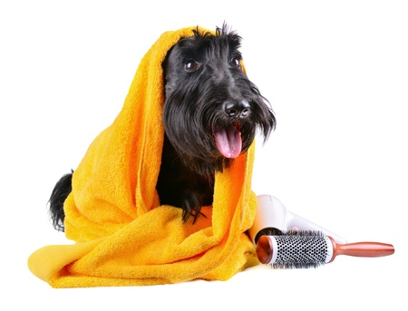 dog grooming: Scotch terrier in yellow towel sitting on a white background Stock Photo
