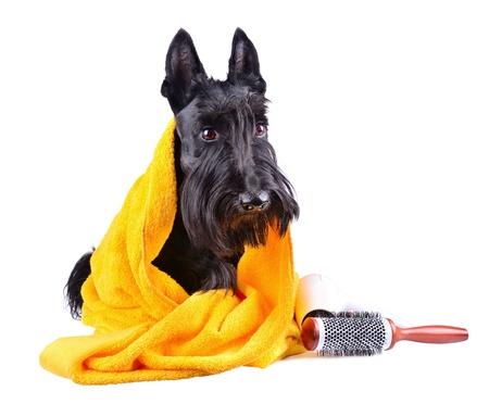 Scotch terrier en una toalla amarilla que se sienta sobre un fondo blanco