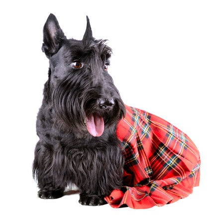Scotch terrier in a red classical kilt sitting on a white background photo
