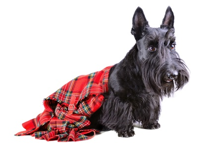Scottish terrier in a red kilt sitting on white background photo