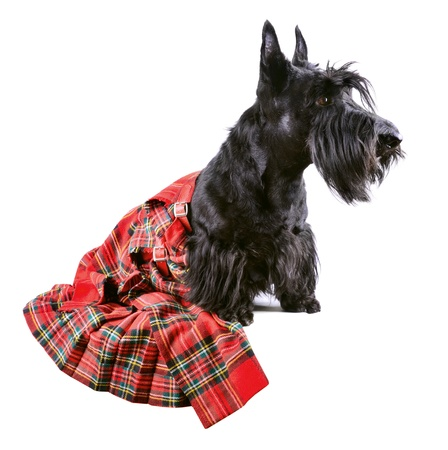 Scotch terrier in a red classical kilt sitting on a white background Stock Photo