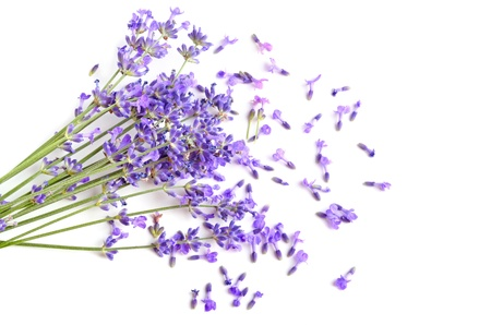 Bunch of fresh lavender flowers on a white background