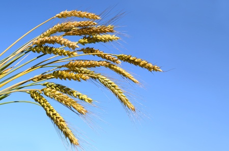 Bunch of ripe wheat ears against a blue sky photo