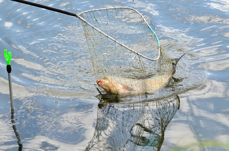 fishingpole: Close up of a fishing net with big bream in a water Stock Photo