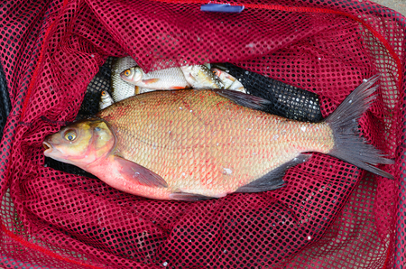 fishingline: Close up of red fishing net with big bream