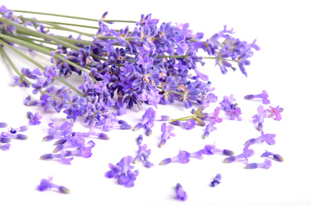 Bunch of fresh lavender flowers on a white background photo