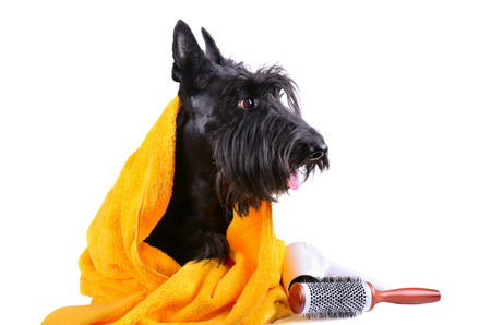 pet grooming: Dog after bath in yellow towel sitting on a white background Stock Photo