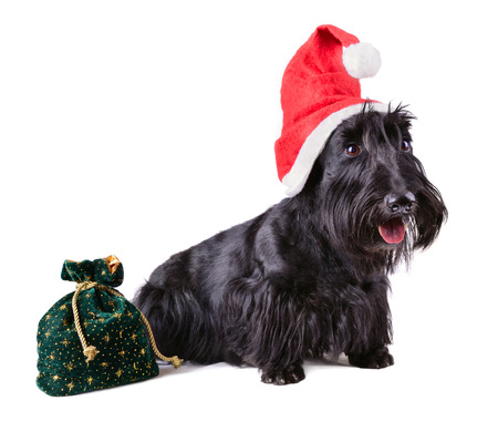Dog terrier with red Santa Claus hat and gifts bag on a white background photo