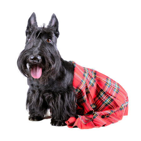 checkered scarf: Dog in a red Scotland tartan sitting on a white background