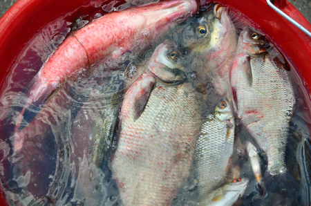 fishingline: Catching big breams in water in red pail