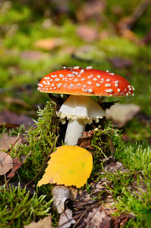 Red fly ageric mushroom also known as amanita muscaria or fly amanita in autumn forest photo