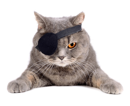 grey cat: British cat in caribbean pirate costume with eye patch Stock Photo