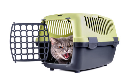 Angry British Shorthair cat sitting in plastic cage on a white background photo