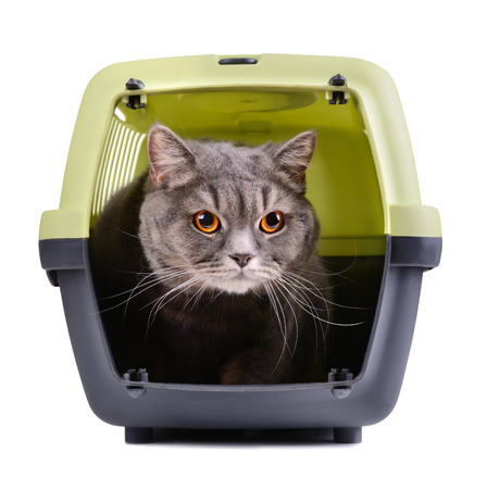 cat carrier: Portrait of gray cat inside a cat carrier box on white background