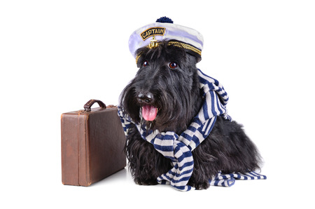 dog in costume: Scotch terrier in stripped vest and sailor hat sitting on a white background with brown bag Stock Photo