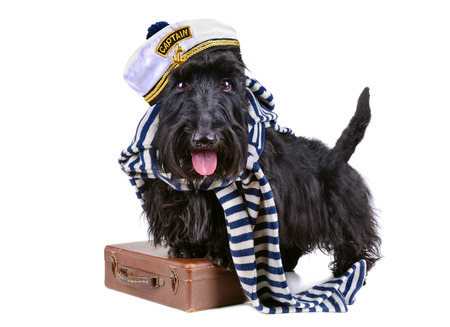 Scotch terrier in stripped vest with brown bag on a white  photo