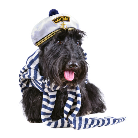 Scotch terrier in stripped vest and sailor hat sitting on a white background photo