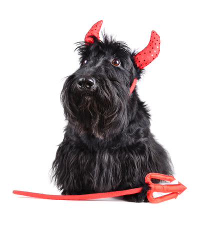 Portrait of Scotch terrier wearing a devil costume on white background photo