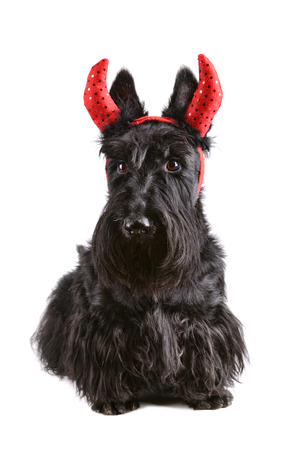Portrait of black Scotch terrier in devil horns on a white background photo