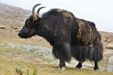 Tibetan yak eating grass in a pasture at Himalaya mountains photo