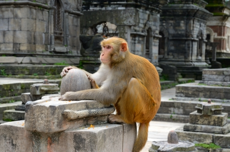 Wild monkey sitting on the top of stone Shiva lingam in old Hindu temple ruins photo