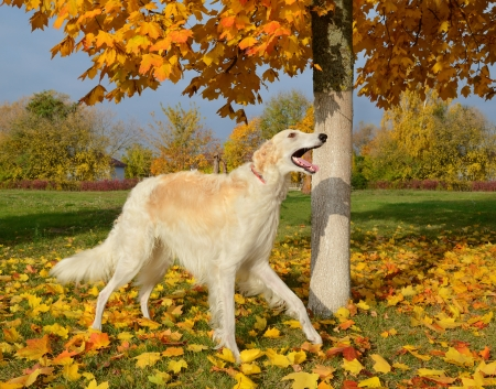 white russian: White russian wolfhound standing on yellow autumn leaves Stock Photo