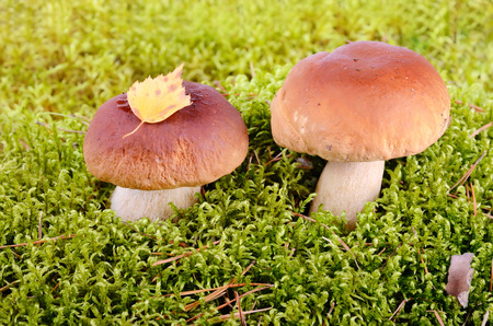 Two king boletus mushrooms growing in green moss photo