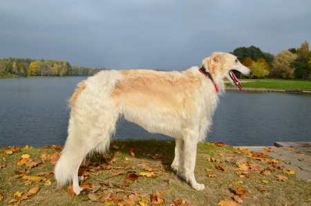 white russian: White russian wolfhound standing on a lake  Stock Photo