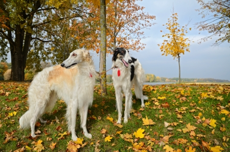 hounds: Two russian wolf hounds standing on yellow autumn leaves Stock Photo