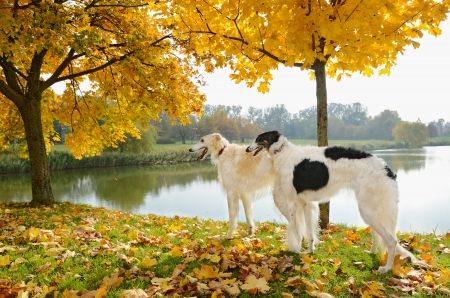 hounds: Two russian wolf hounds standing on golden autumn leaves