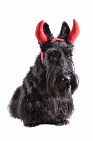 Scotch terrier with horns sitting on a white background photo