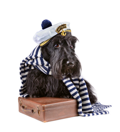 Scotch terrier in stripped vest with brown bag on a white background photo
