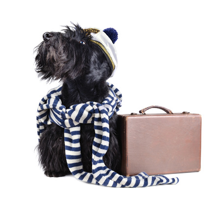 Scotch terrier in stripped vest on a white background photo