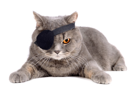 Gray british cat in pirate costume with eye patch on white background