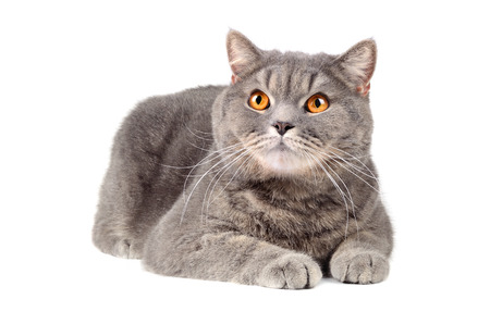 british shorthair: British cat with orange eyes on a white background