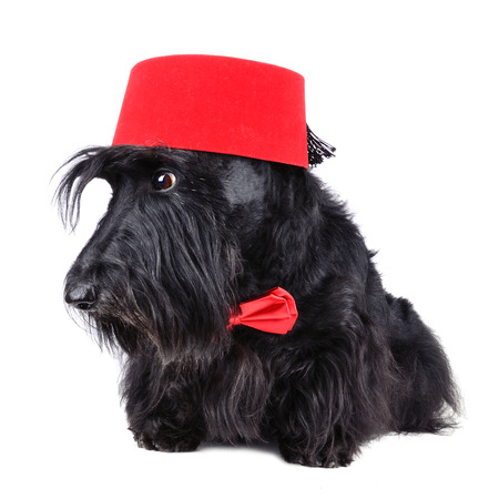 Scotch terrier in red bow tie and in traditional fez sitting on a white  photo