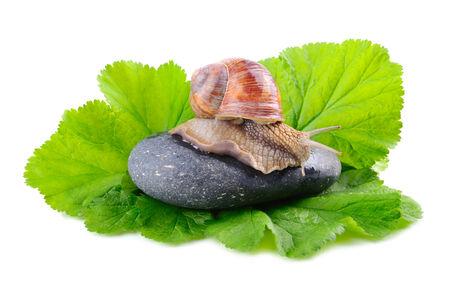sluggish: Big garden snail climbing on a black stone on a white