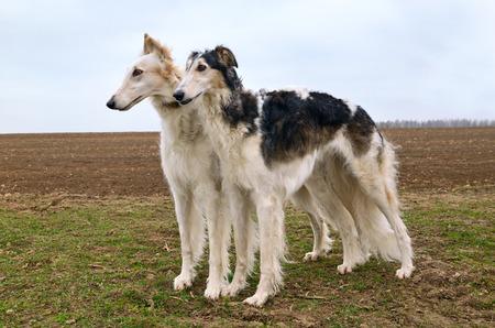 hounds: Two russian wolf hounds standing on a field
