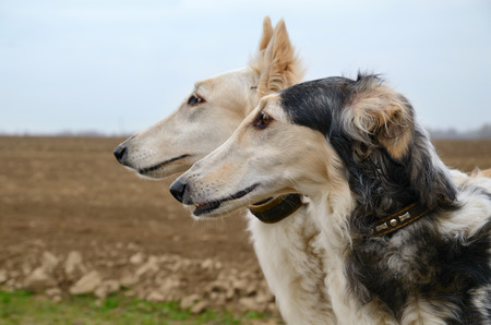 hounds: Portrait of two russian wolf hounds standing on a field Stock Photo
