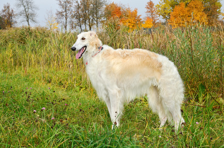 white  russian: White russian borzoi standing in autumn grass